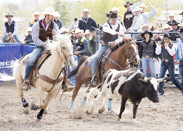CWC rodeo cowboy rides his horse alongside a steer